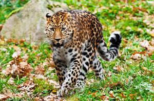 Amur leopard by PictureByPali