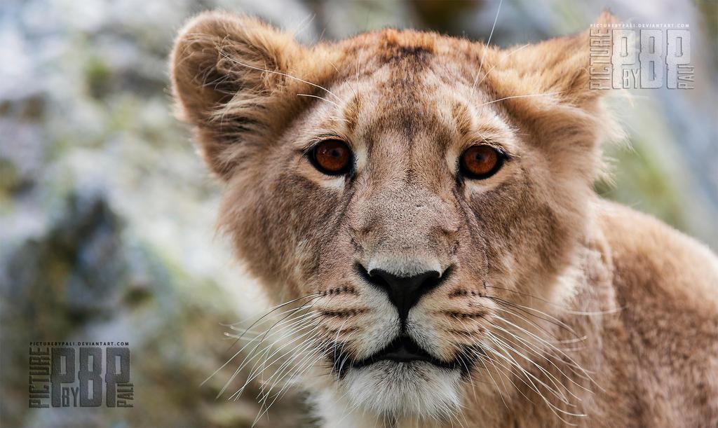 Asiatic Lion Cub by PictureByPali