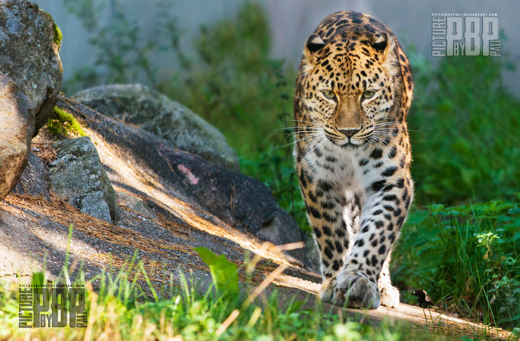 Determined leopard by PictureByPali