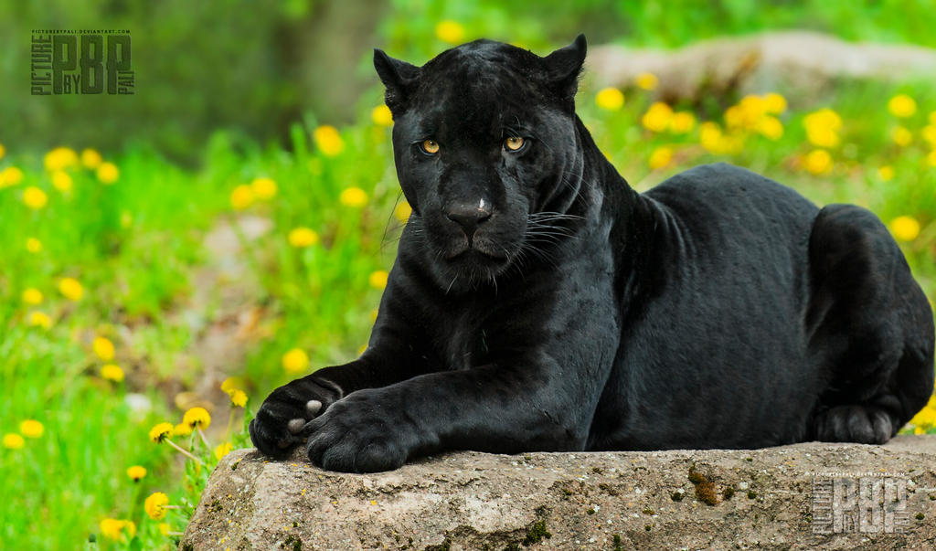 The Black Panther by PictureByPali on DeviantArt - photo#34