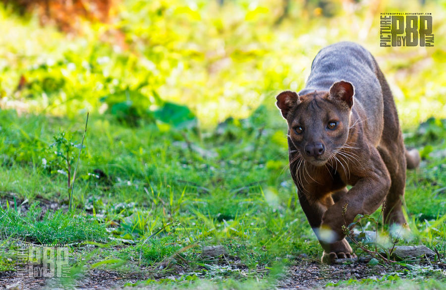 The Prowling Fossa by PictureByPali