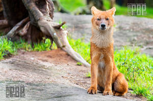 Young Dhole by PictureByPali