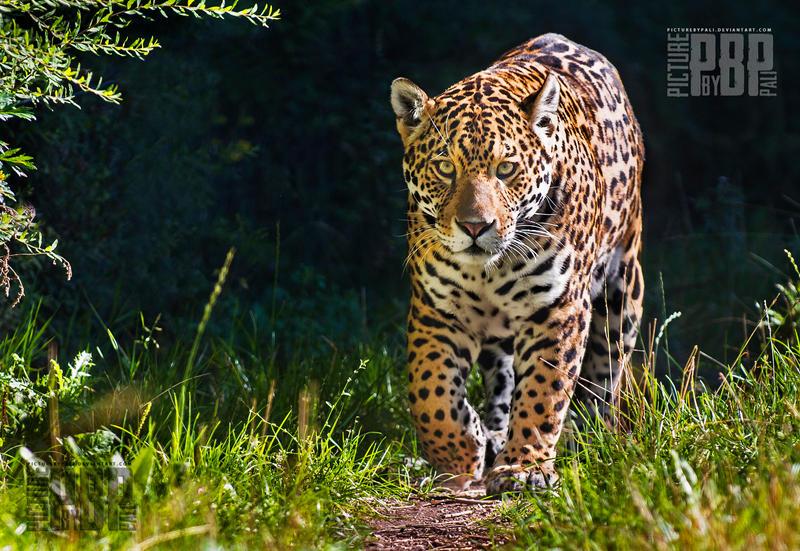 The Proud Jaguar by PictureByPali