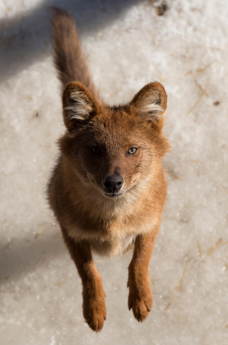 Dhole by PictureByPali