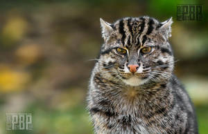 Fishing Cat by PictureByPali