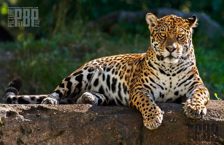 http://fc05.deviantart.net/fs71/i/2014/101/c/b/female_jaguar_by_picturebypali-d7e0c9x.jpg