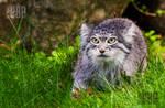 The Pallas Cat