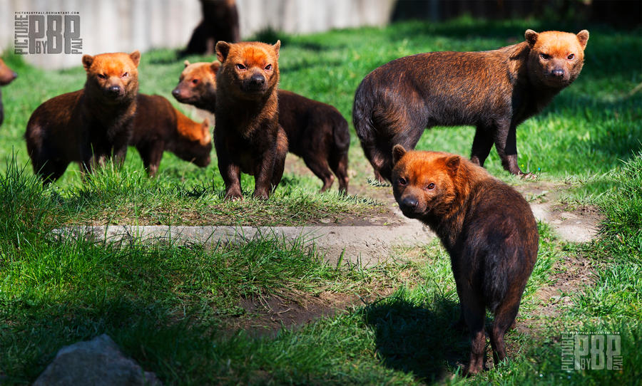 A Pack of Bush Dogs by PictureByPali on DeviantArt