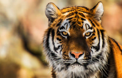 The Siberian Tiger STOCK