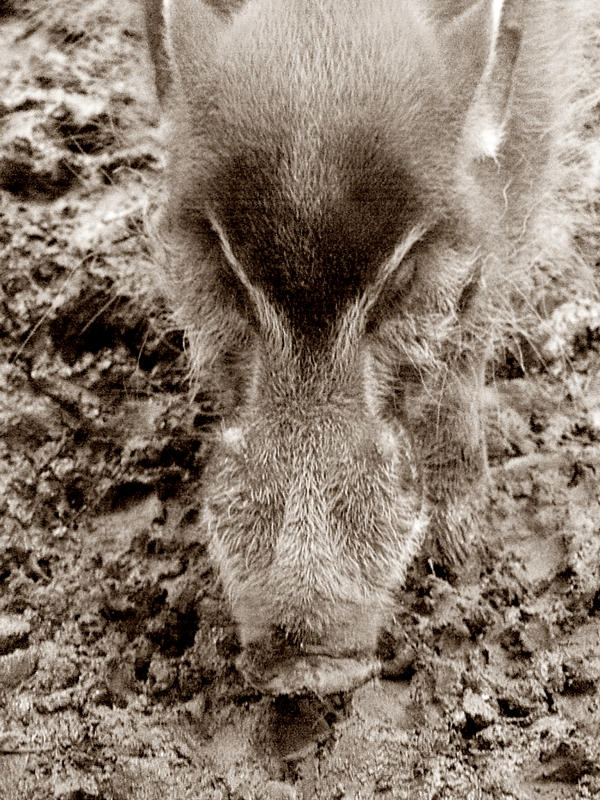 Red River Boar
