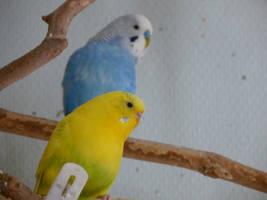 Fresco and Amarello