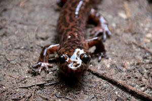 Dicamptodon ensatus, California Giant Salamander by mightystag