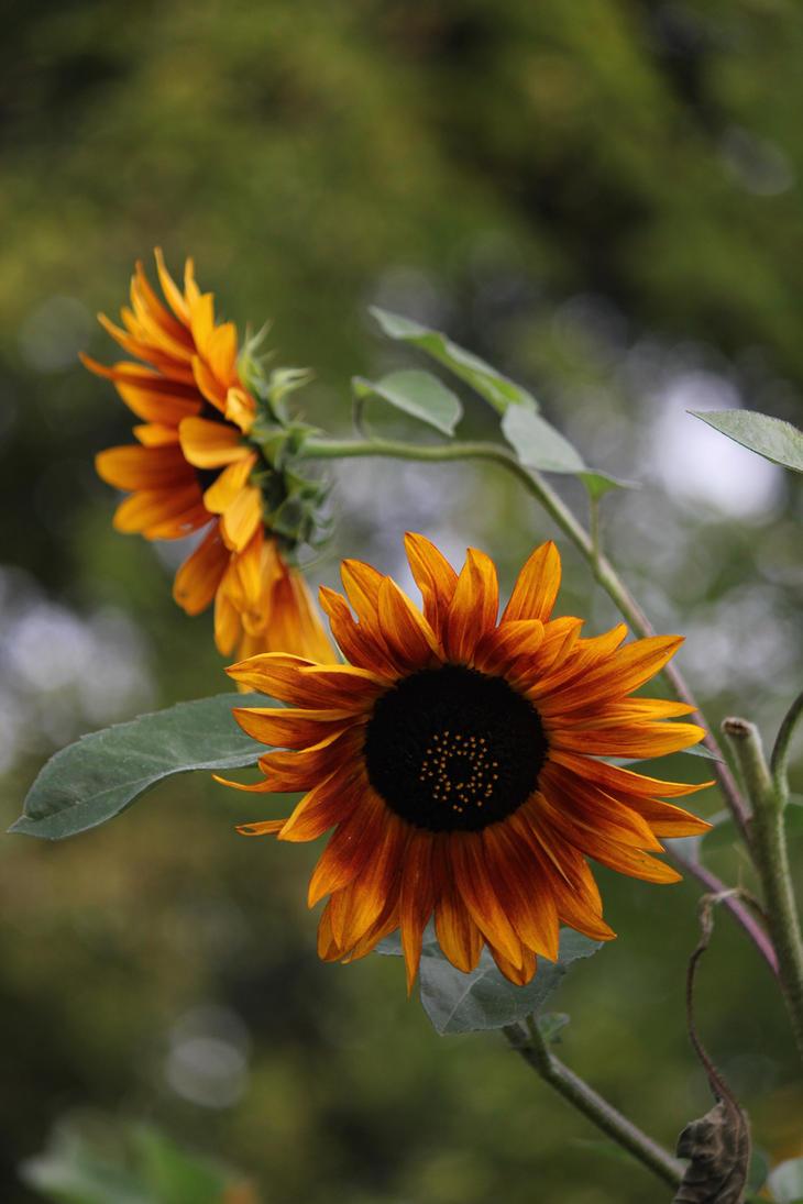 Sunflower Song by catbehaviors