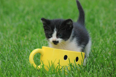 Tibbs in a cup by catbehaviors