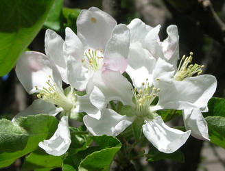 Apple Blossoms 2 by Weather-Angel-Adept