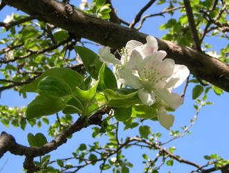Apple Blossoms and Sky by Weather-Angel-Adept