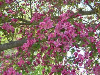 Crabapple Flowers 1 by Weather-Angel-Adept