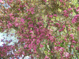 Crabapple Flowers 2 by Weather-Angel-Adept