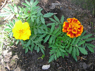 Marigolds by Weather-Angel-Adept