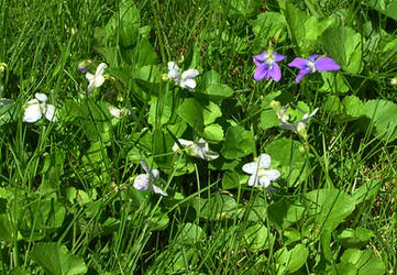 Purple and White Violets by Weather-Angel-Adept