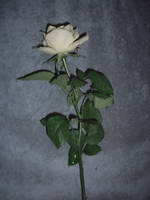 white rose stock 2 by cathy-halo
