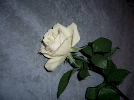 white rose stock 3 by cathy-halo