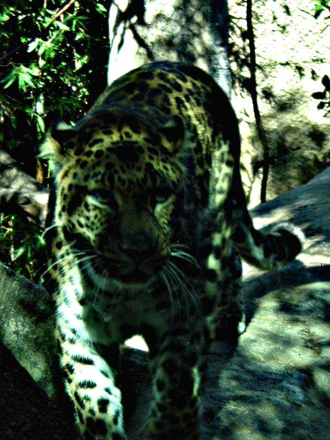 Viewtiful Leopard by xuncu