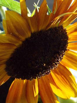Sunflower (Hybrid)
