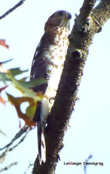 Besra Sparrow-Hawk -- North Eastern U.S.A.