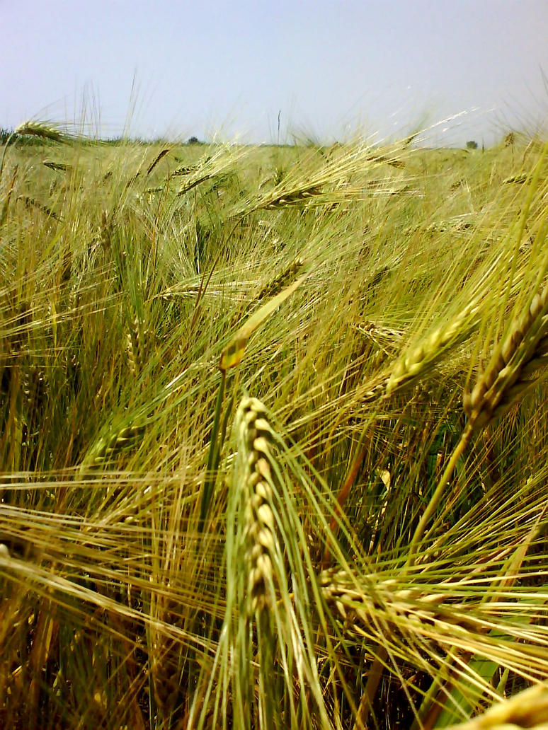 barley by Shtefhan