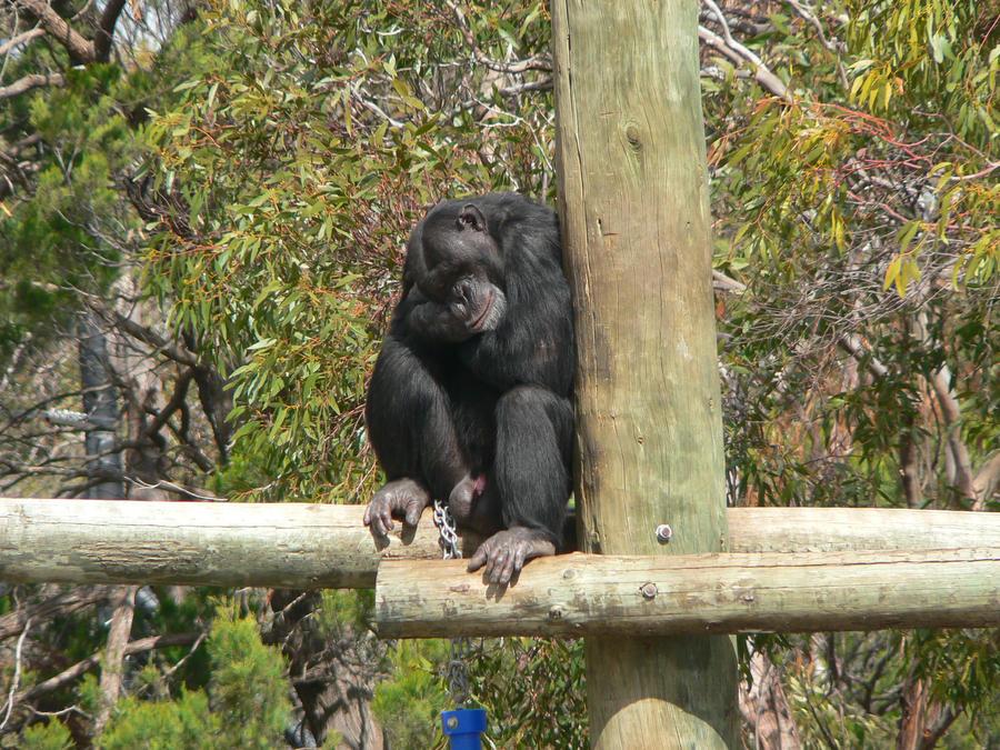 Chimpanzee 02 by lizardman22