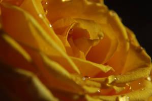 rose 2 by takhisis-pl