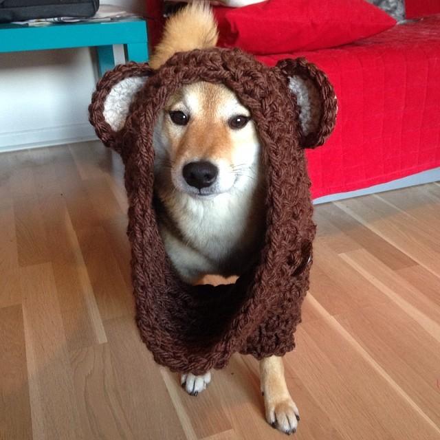 Teddy shiba by kiwifluff