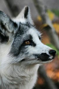 KiraTheFoxx's Profile Picture