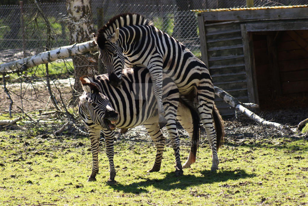 Zebras Mating 2 By Shyrokee On Deviantart