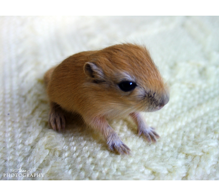 Newborn gerbils - photo#2