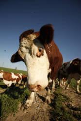 Cows 3 by Ondrangon