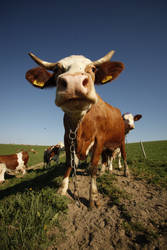 Cows 4 by Ondrangon