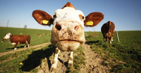 Cows 6 by Ondrangon