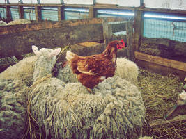 Photo - A Chicken's Steed