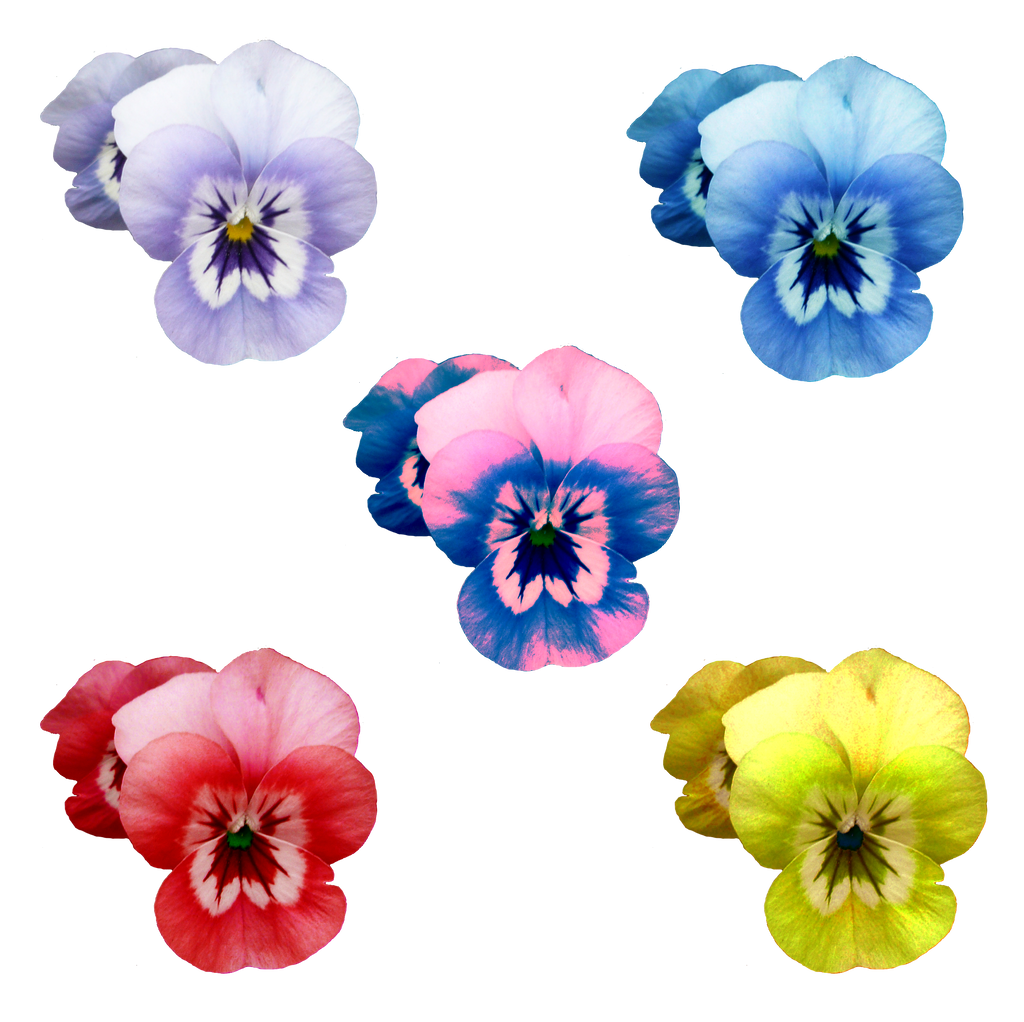 Flowers different colors png by idunahayaphotography on for What makes flowers different colors