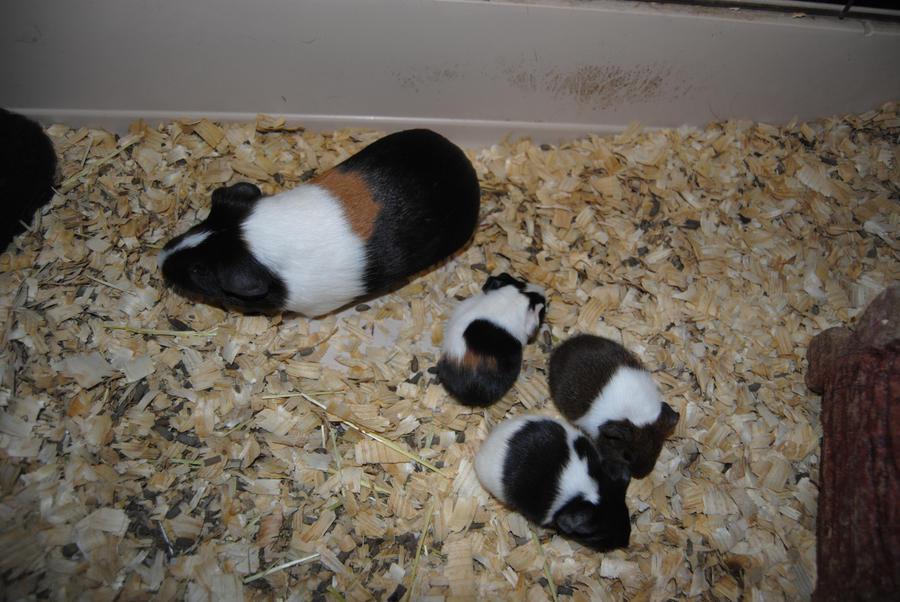 Roasted Guinea Pigs Peru  BizarreFoodcom