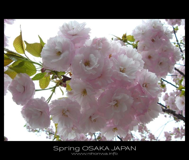 Sakura -3- by Lou-NihonWa