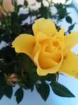 petite rose jaune