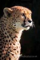 International Cheetah Day II by Chikrata