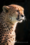 International Cheetah Day II