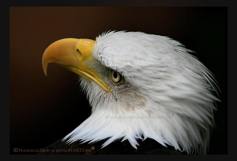 Bald Eagle by ManiacalMew