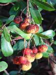 Medronho fruit