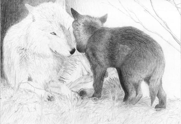 pencil drawings pencil drawings of wolves