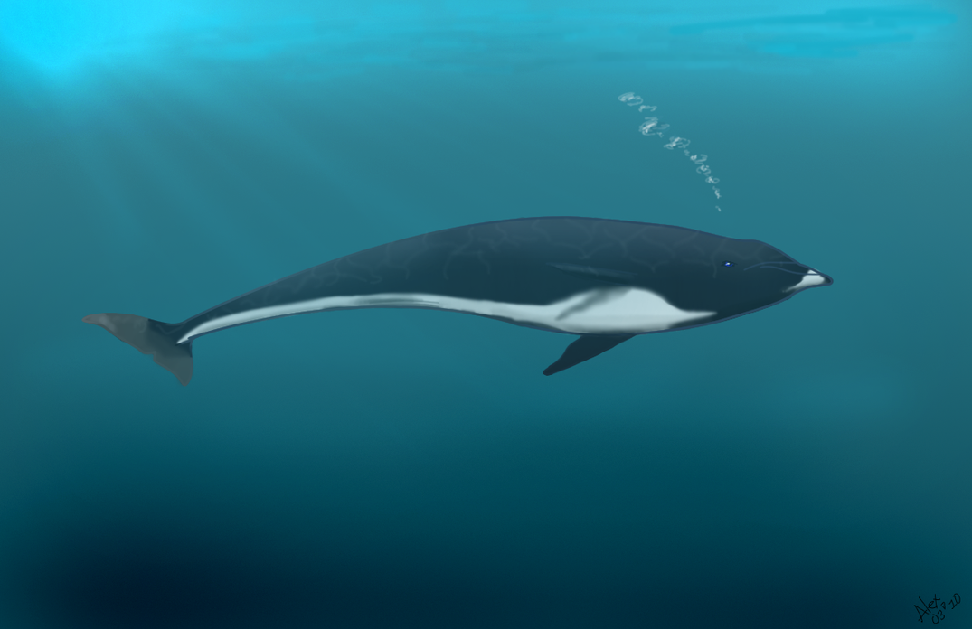 Northern Right whale Dolphin by AngelMC18 on DeviantArt